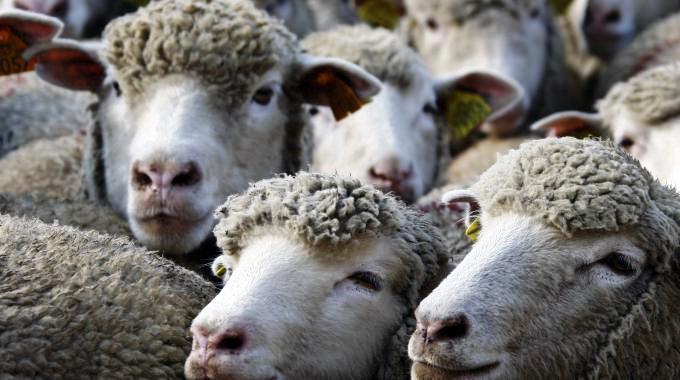 1543880-pecore